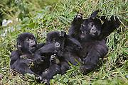 Mountain Gorilla<br /> Gorilla gorilla berengei<br /> Playful juvenile(s)<br /> Virunga Volcanoes National Park, Rwanda<br /> *Endangered Species