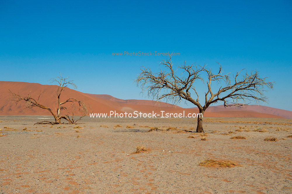 The parched ground in Deadvlei the salt pan surrounded by towering red sand dunes. Namib-Naukluft National Park, Namibia.