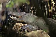 Vereinigte Staaten von Amerika, USA, Florida: amerikanischer Mississippi-Alligator (Alligator mississippiensis) mit geoeffnetem Maul beim Sonnenbad. | United States of America, USA, Florida: American Alligator, Alligator mississippiensis, sunbathing on a trunk with open mouth. |