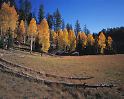 Aspen trees (Populus tremuloides) tinted with the golds & reds of autumn line a meadow near the head of Widorss Trail, North Rim, Grand Canyon Natl. Park, Arizona..Subject photograph(s) are copyright Edward McCain. All rights are reserved except those specifically granted by Edward McCain in writing prior to publication...McCain Photography.211 S 4th Avenue.Tucson, AZ 85701-2103.(520) 623-1998.mobile: (520) 990-0999.fax: (520) 623-1190.http://www.mccainphoto.com.edward@mccainphoto.com.