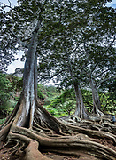 "On the island of Kauai, these Moreton Bay Fig trees in Allerton Garden were filmed in the movie ""Jurassic Park"" (1993) in a scene where a nest of hatched eggs is discovered by Dr. Grant, who says: ""Oh God. Know what this is? It's a dinosaur egg. The dinosaurs are breeding... Life found a way."" Address: 4425 Lawai Rd, Koloa, HI 96756. Nestled in a valley transected by the Lawai Stream flowing into in Lawai Bay, Allerton Garden is one of five gardens of the non-profit National Tropical Botanical Garden (ntbg.org, in Hawaii and Florida, USA). This image was stitched from multiple overlapping images."