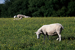UK ENGLAND 29JUL17 - Sheep graze on a pasture in the South Downs National Park, England.<br /> <br /> <br /> <br /> jre/Photo by Jiri Rezac<br /> <br /> <br /> <br /> © Jiri Rezac 2017