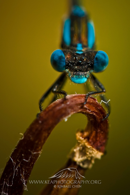 Blue Damselfly, Austrolestes colensonis, New Zealand.  Known to the Maoris as Kekewai, the Blue Damselfly is commonly found perching amongst reeds from October through May.