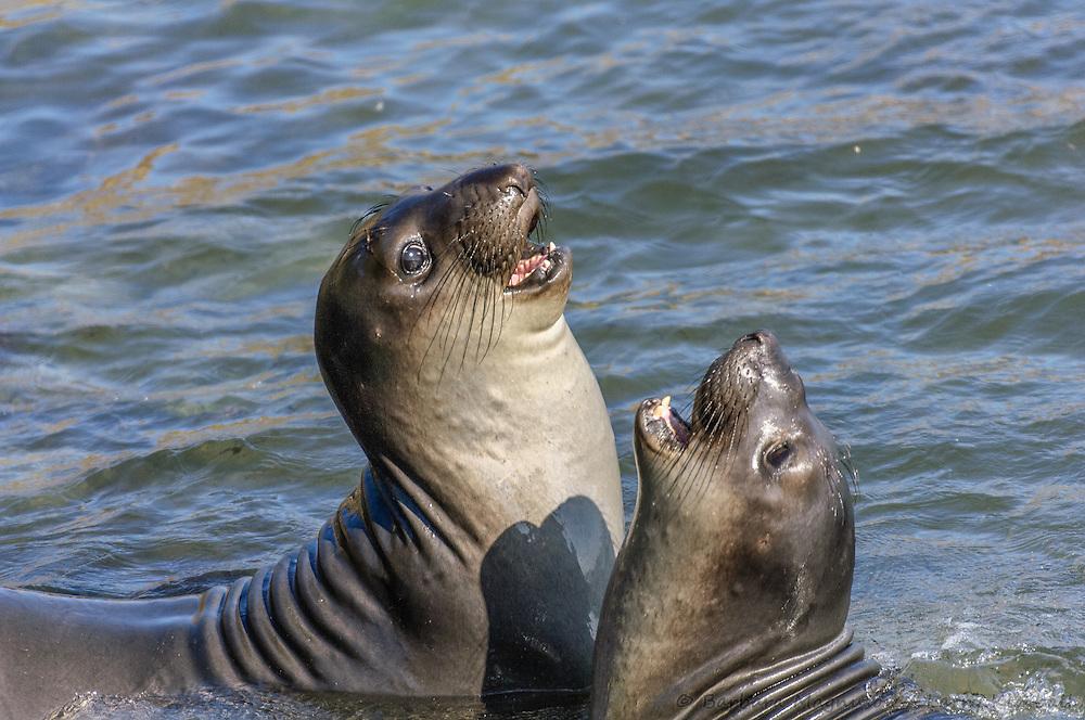 Northern Elephant Seal [Mirounga angustirostris] sub-adult males spar; Piedras Blancas, California