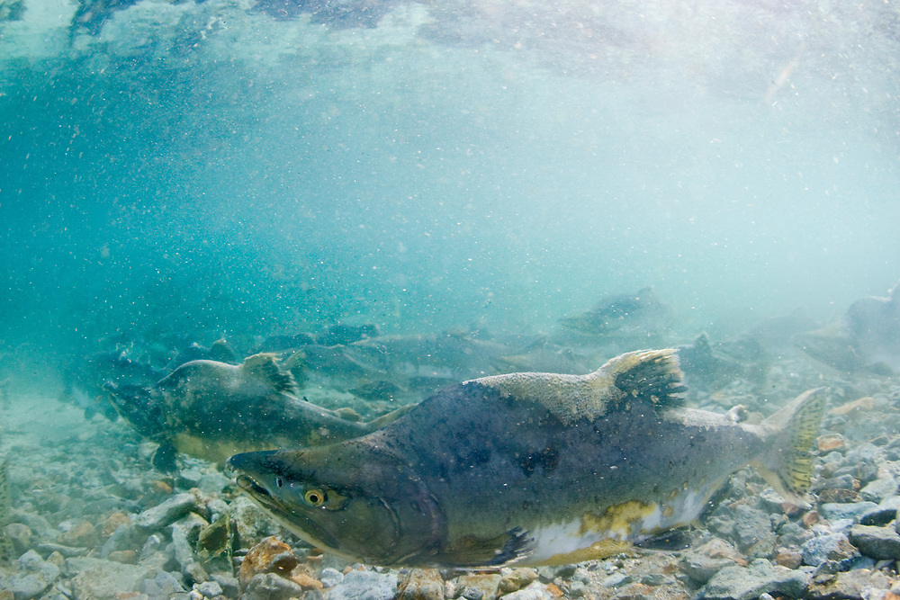 USA, Alaska, Katmai National Park, Kinak Bay, Underwater view of Spawning Pink Salmon (Oncorhynchus gorbuscha) in shallow river on autumn afternoon