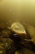 Lake Sturgeon<br /> <br /> Chris Morey/Engbretson Underwater Photography