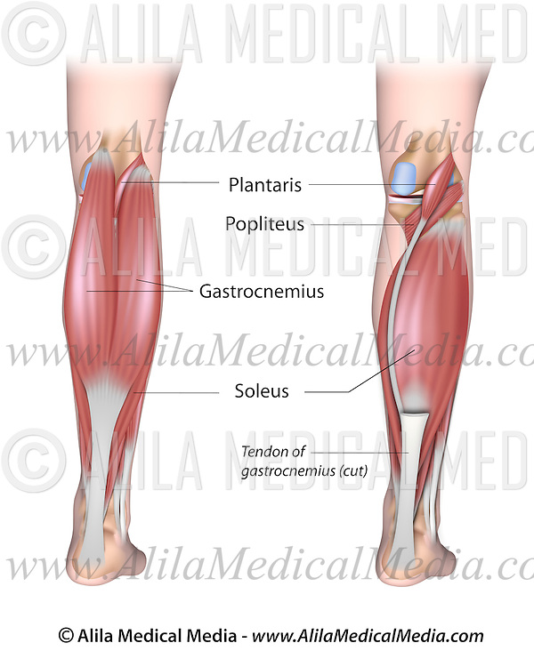 Lower Leg Muscles Posterior Alila Medical Images