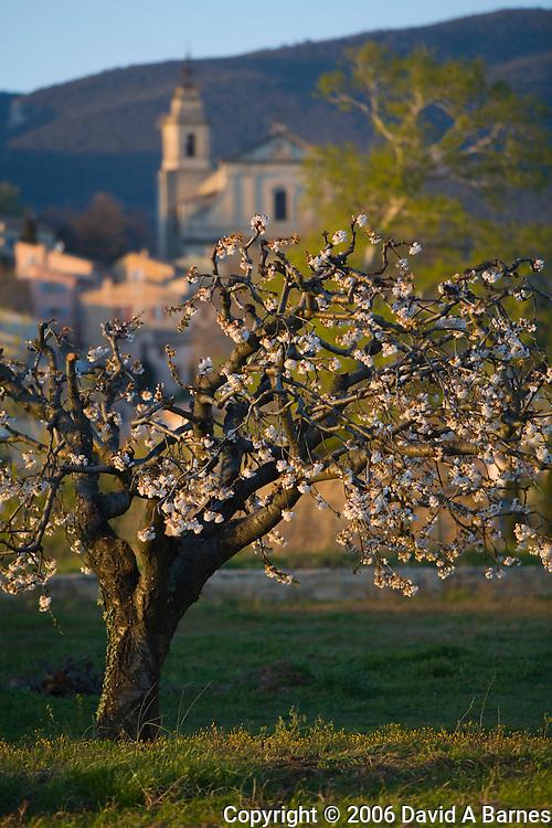 Fruit tree in bloom, Jesuit style church of Saint Antonin build in 1702, Bedoin, Comtat Venaissin, Vaucluse, Provence, France
