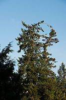 A couple of Douglas Fir Trees appear to be hugging as the tops lean in a circle towards each other.