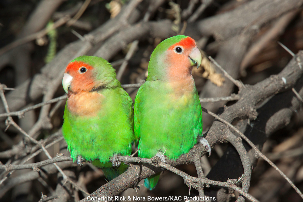 Peach-faced Lovebird <br /> Agapornis roseicollis<br /> Gilbert Water Ranch, Gilbert, Maricopa County, Arizona, United States<br /> 15 January    Adults     Psittacidae
