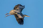 Escaping Grey Heron   Gråhegre i flukt