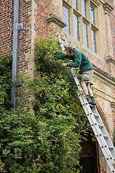 Gardener on ladder pruning a rose on the Tower at Sissinghurst Castle Garden