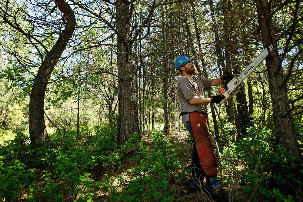 Caleb Wells, with Hester Forest Management, trims pine trees Thursday in an overgrown area of Cherry Hill Park in Coeur d'Alene. Crews were working under a FireSmart program to reduce wildfire fuels that include the removal of small trees, space out the tree crowns, pruning lower branches of the residual trees to keep fire out of the tree canopies, and removal of most brush that is over one foot in height.