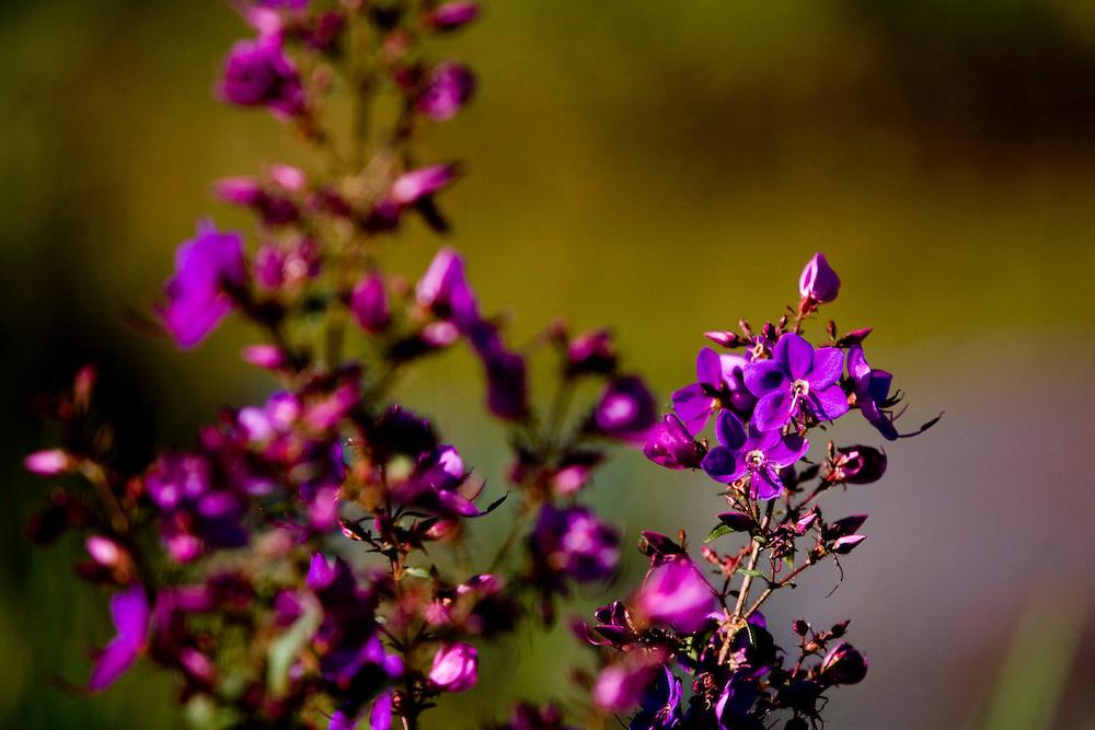 Jeceaba_MG, Brasil...Detalhe de uma flor em Jeceaba, Minas Gerais...Detail of a flower in Jeceaba, Minas Gerais...Foto: BRUNO MAGALHAES / NITRO