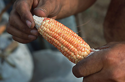 Cob of corn being held by farmer to indicate poor growth due to drought,