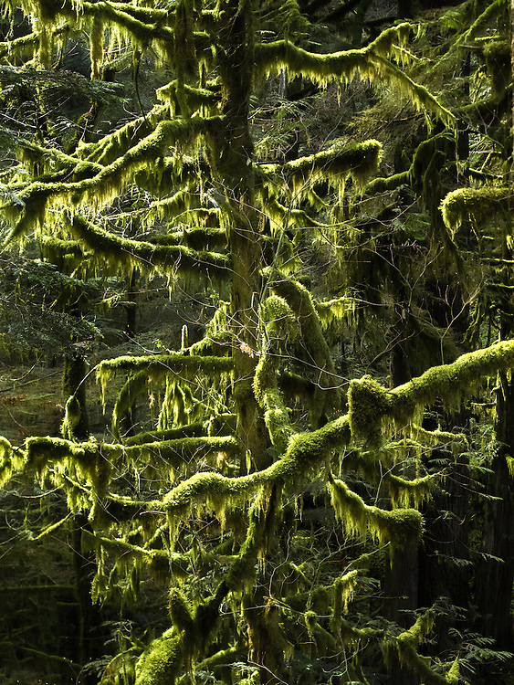 During the winter, when big leaf maple trees lose their leaves, it is common to find their moss-covered bare limbs backlit by sunlight. This spectacle becomes hidden by foliage once the trees leaf out in the spring.
