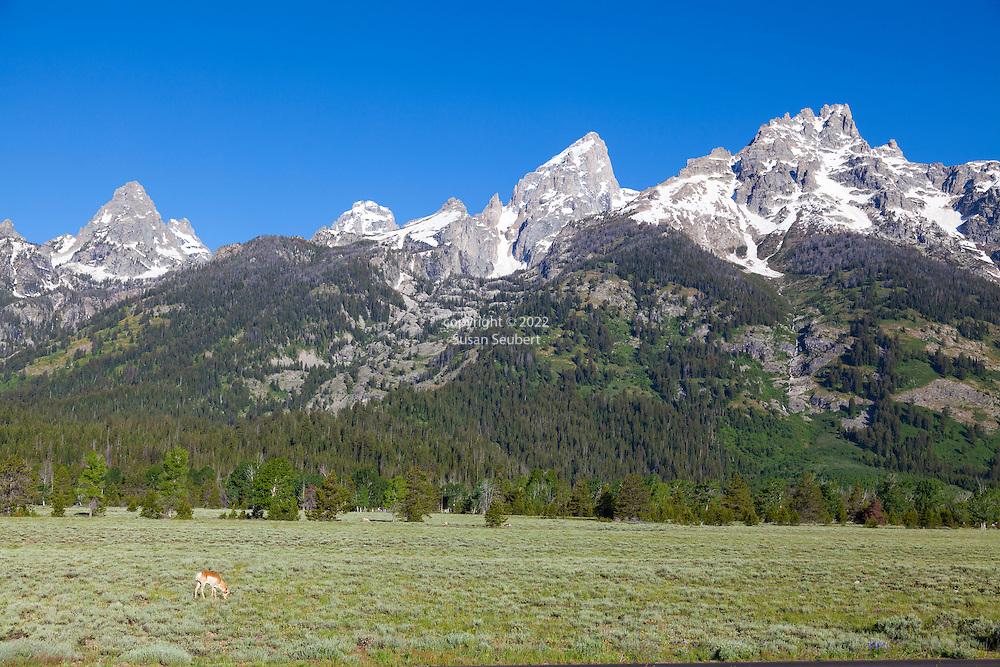 Grand Teton National Park, Wyoming. Pronghorn antelope grazing in Grand Teton National Park