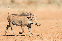Warthog running with tail errect, Mokala National Park, Northern Cape, South Africa