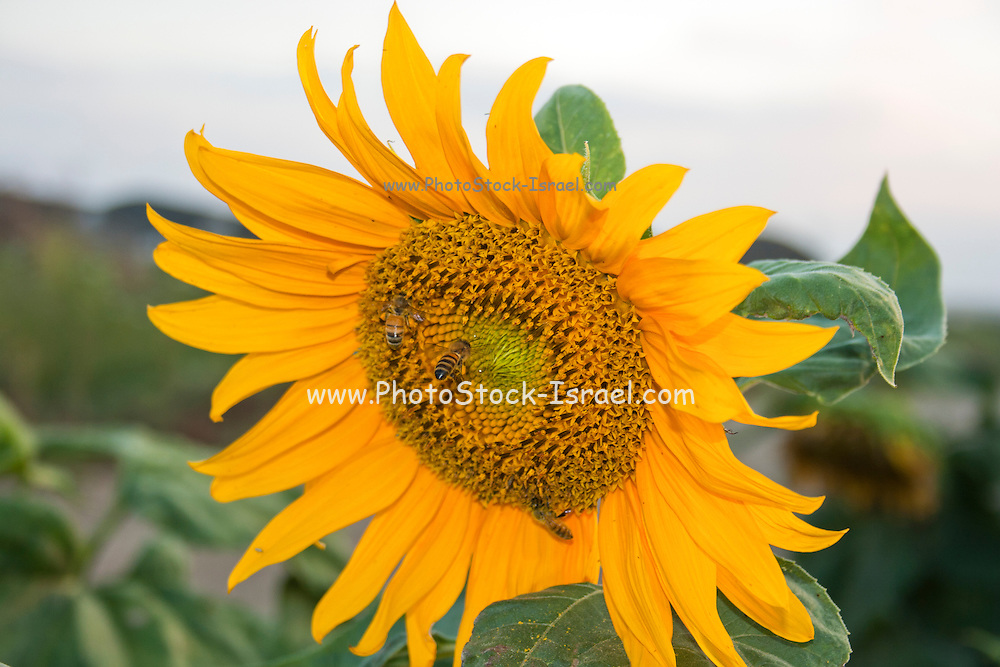 Closeup of a sunflower in a field Photographed in Israel