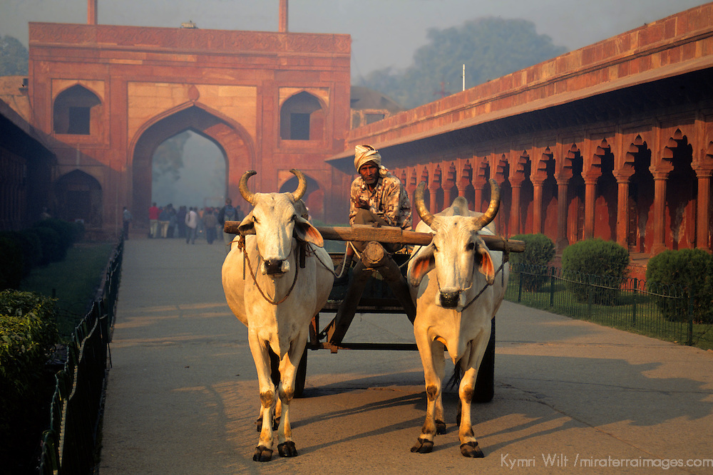 Asia, India, Uttar Pradesh, Fatehpur Sikri. Two oxen pull a cart outside the fort.