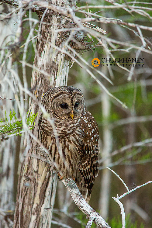 Female barred owl in Everglades National Park, Florida, USA