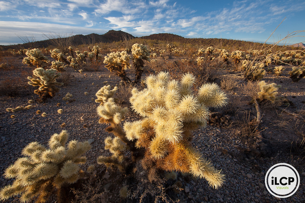 4. Teddy bear cholla in Organ Pipe Cactus National Monument.
