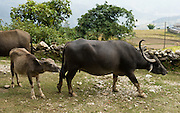 Water buffalo and calf near Dhampus  in Nepal.