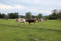UK ENGLAND ENGLAND STOCKTON 1JUL15 - Livestock (Longhorn cattle) on Stockton Farm near the river Camlad on the border between England and Wales in the river Severn catchment area.<br /> <br /> jre/Photo by Jiri Rezac / WWF UK<br /> <br /> © Jiri Rezac 2015