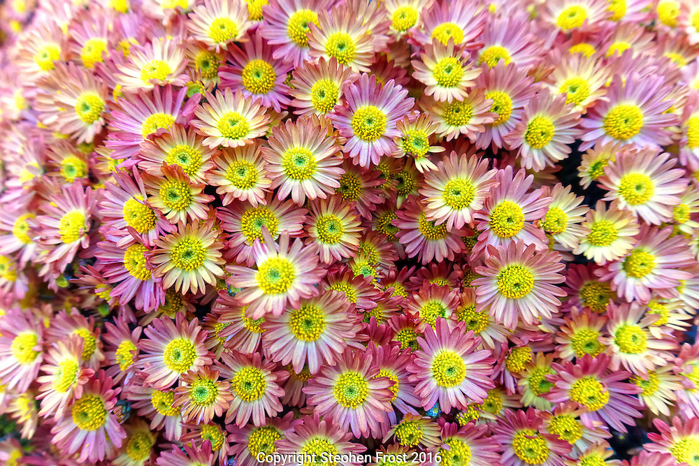 A chrysanthemum display of small pink and yellow flowers.