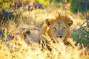 A male lion stares intensely into camera bathed in golden morning light