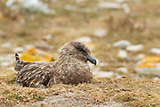 A skua sits quietly on her nest in low grass in the Falkland Islands