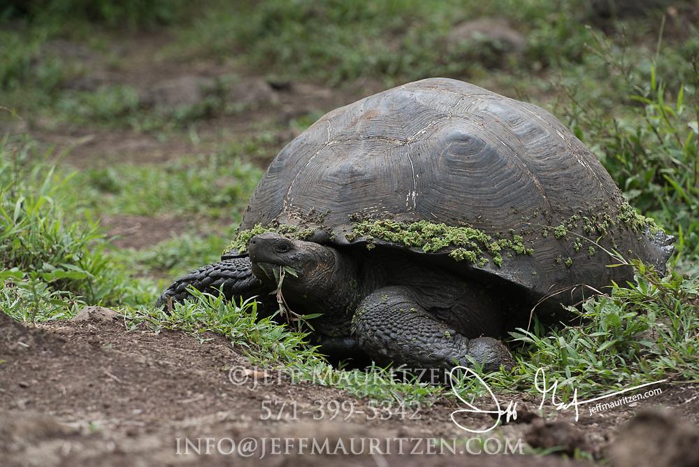 A Galapagos Giant tortoise eats vegetation in the Santa Cruz highlands.
