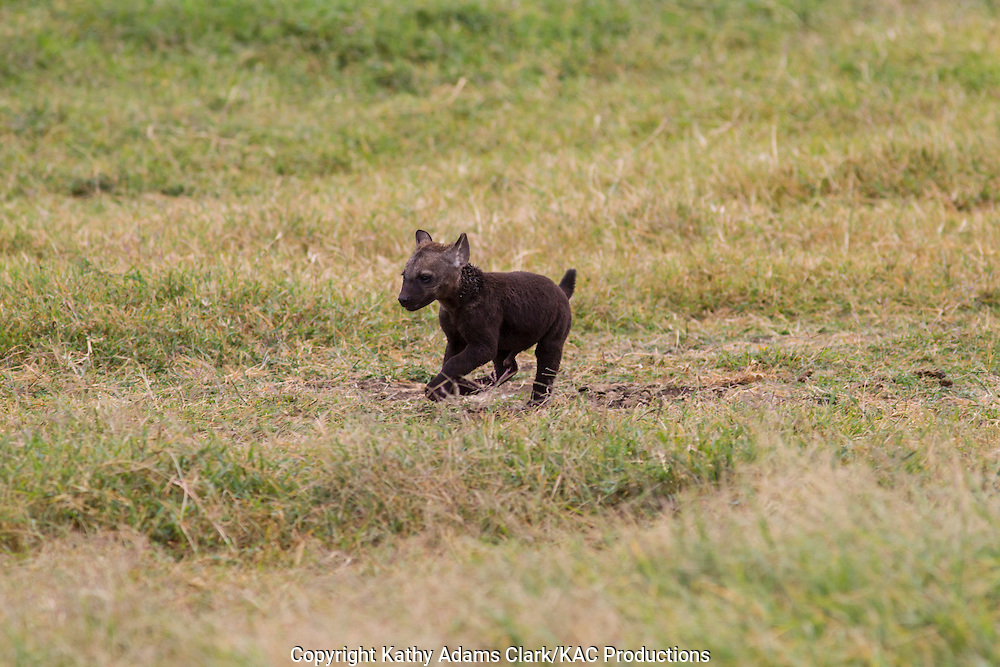 spotted hyaena, laughing hyaena, hyena, Crocuta crocuta, baby recently out of the burrow, puppy, Ngorongoro Creater, Ngorongoro Conservation Area, Tanzania, Africa.