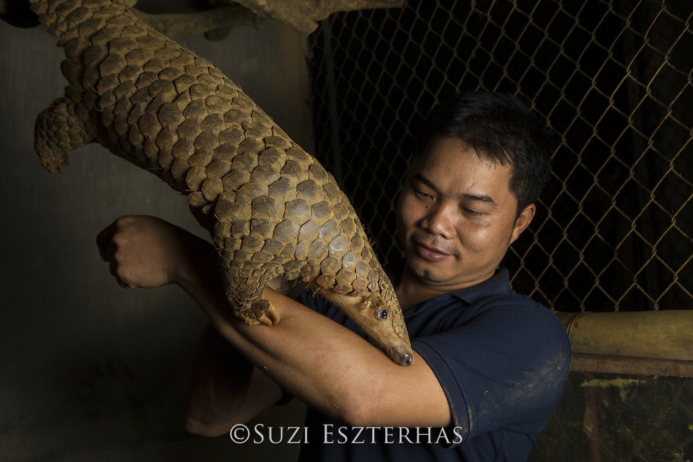 Sunda pangolin <br /> Manis javanica<br /> Rescued adult climbing on Thai Van Nguyen, Executive Director<br /> of Save Vietnam's Wildlife<br /> Carnivore and Pangolin Conservation Program, Cuc Phuong National Park, Vietnam<br /> *Captive - rescued from poachers<br /> *Model release available