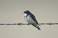 Tree Swallow (Tachycineta bicolor), Frank Lake, Alberta, Canada, shot from car window on entrance road   Photo: Peter Llewellyn
