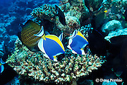 powder blue tangs or surgeonfish, Acanthurus leucosternon, and sailfin tang, Zebrasoma veliferum, feeding on algae growing on dead coral, <br /> Helengeli, Maldives ( Indian Ocean )