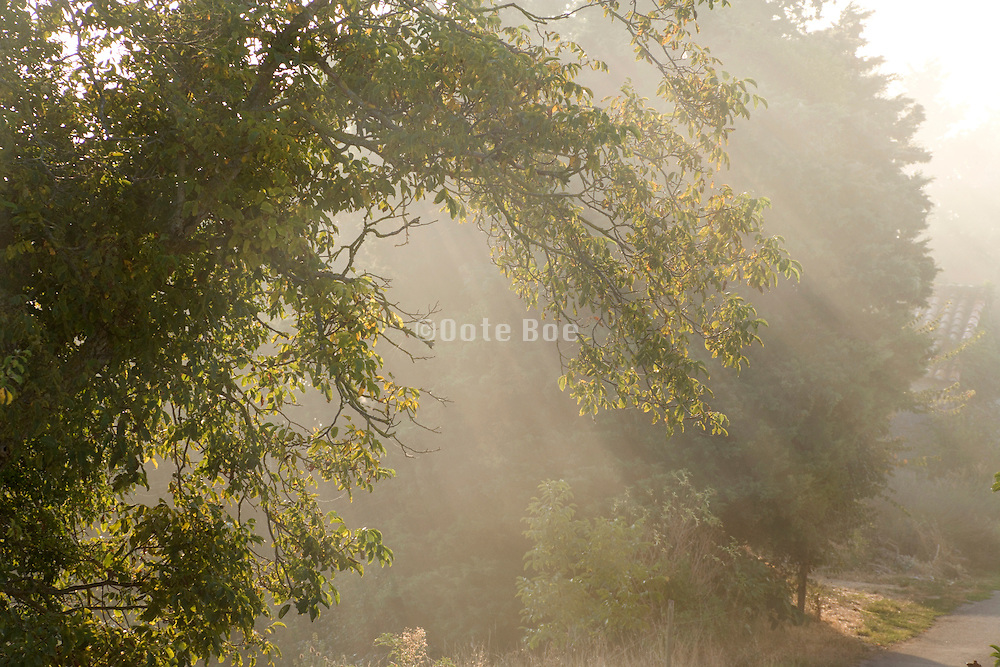 tree branches and sun rays with early morning fog