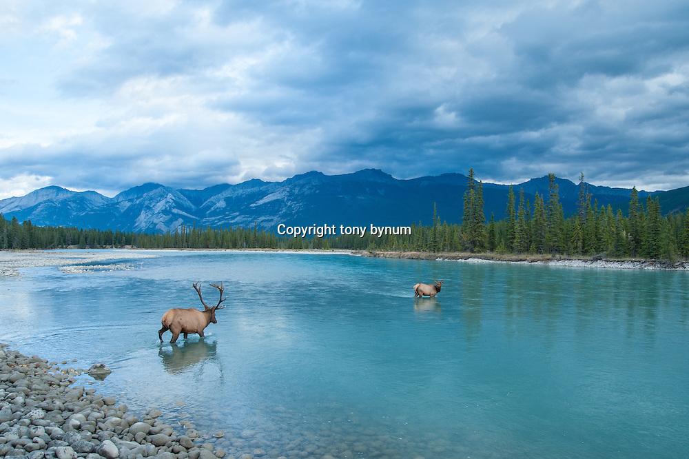 two elk wading across a river in mountain setting big wide landscape