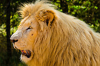 Male white lion, Lion Park, near Johannesburg, South Africa. The white lion is a rare color mutation of the Timbavati region of South Africa.
