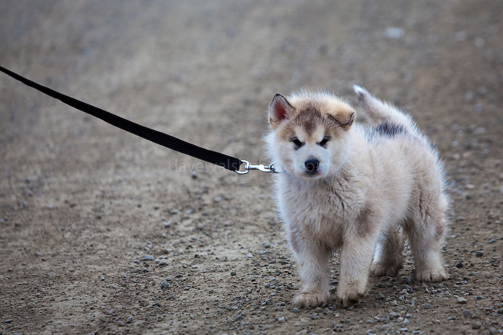 Husky, or sled dog pup being taken for a walk at the scientific research base of Ny Alesund, Svalbard