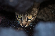Feral Cat<br /> Wolf Volcano. Isabela Island<br /> GALAPAGOS ISLANDS<br /> ECUADOR.  South America<br /> Introduced to the islands