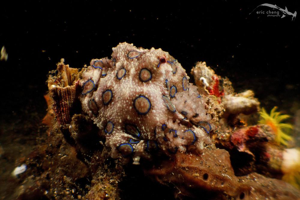 Blue-ringed octopus (Hapalochlaena lunulata) at night. Lembeh Strait, Indonesia. echeng100304_0252775