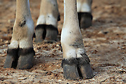 THOMSON'S GAZELLE Gazella thomsoni close up of the feet and hooves