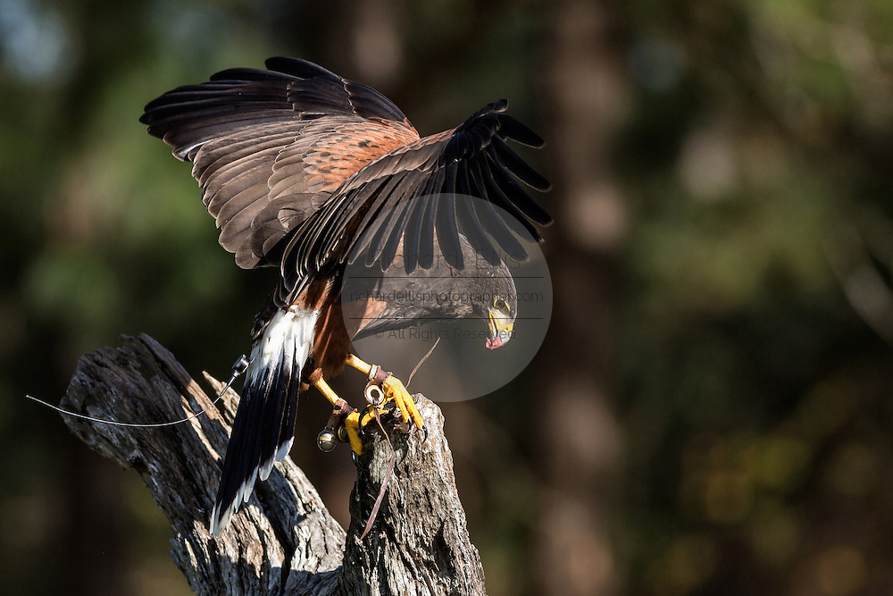 Harris Hawk with food on a perch at the Center for Birds of Prey November 15, 2015 in Awendaw, SC.