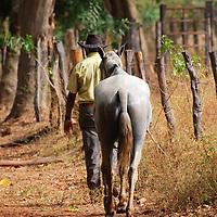 Un llanero regresa a pie con su caballo a su lugar de trabajo. El Hato Piñero, ubicado en los llanos centrales de Venezuela, Estado Cojedes; constituye un desarrollo que se caracteriza por el turismo ecológico, donde los visitantes pueden disfrutar de la diversidad de la fauna, las actividades ganaderas y agroindustriales. El Hato Piñero es un retiro para los amantes de la naturaleza, observadores de aves o los viajeros que simplemente buscan paz y tranquilidad. Estado Cojedes. Venezuela. A Llanero returned on foot with his horse to his place of work. El Hato Piñero, located in the central plains of Venezuela, Cojedes State; It is a development characterized by ecological tourism, where visitors can enjoy the diversity of fauna, livestock and agroindustrial activities. El Hato Piñero is a retreat for nature lovers, birdwatchers or travelers who simply seek peace and tranquility. Cojedes State. Venezuela.