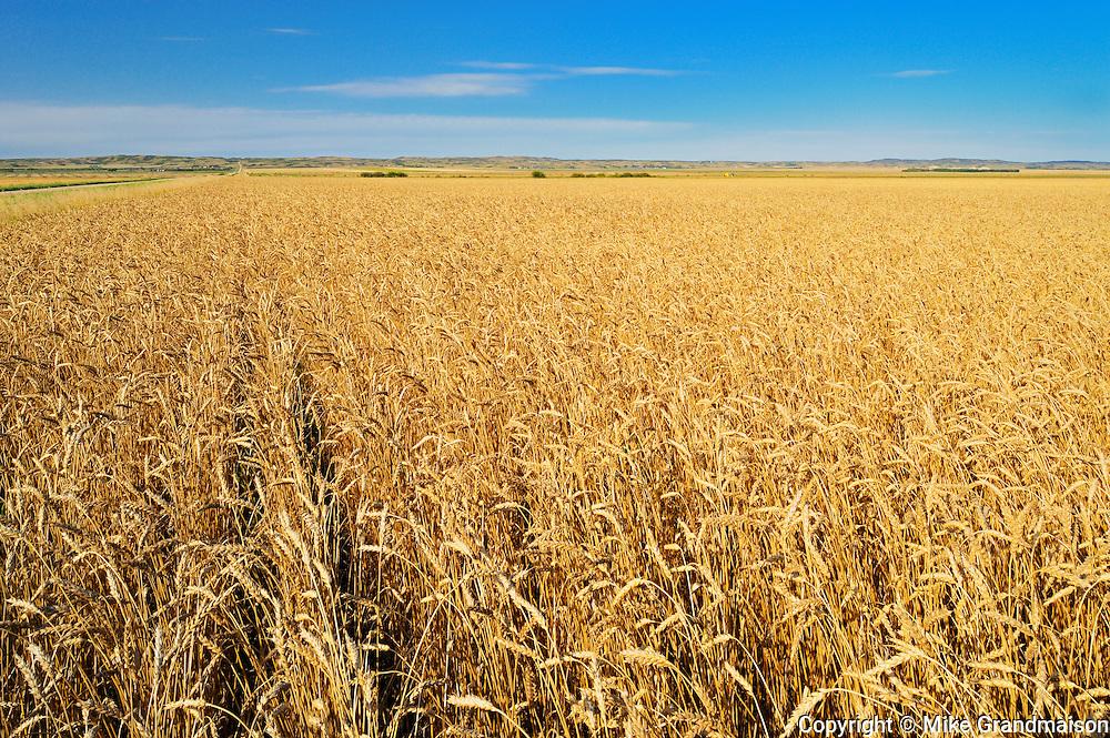 Wheat field<br /> Arcola<br /> Saskatchewan<br /> Canada