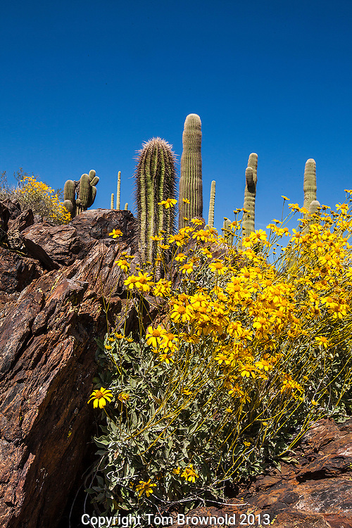 Brittle bush and saguaro cactus