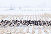 White-fronted Geese, Anser albifrons, and Mallards, Anas platyrhynchos, Brown County, South Dakota