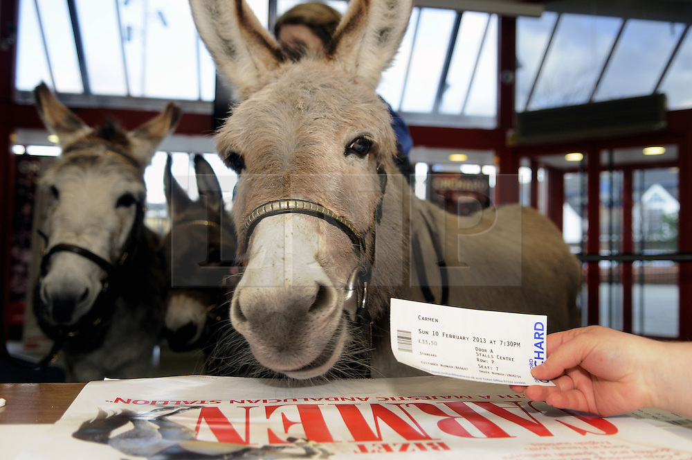 © Licensed to London News Pictures. 22/11/2012.Three donkeys have been employed to sell tickets today (22.11.2012) at the Orchard Theatre in Dartford,Kent. For  Ellen Kent's incredible new production of Carmen, which comes to Dartford in Feburary 2013.  The Three donkeys called William, Violet and Scarlett from the Donkey Breed Society near Gatwick turned heads in Dartford with their furry sales technique. .Photo credit : Grant Falvey/LNP