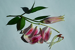 Dissected Flower